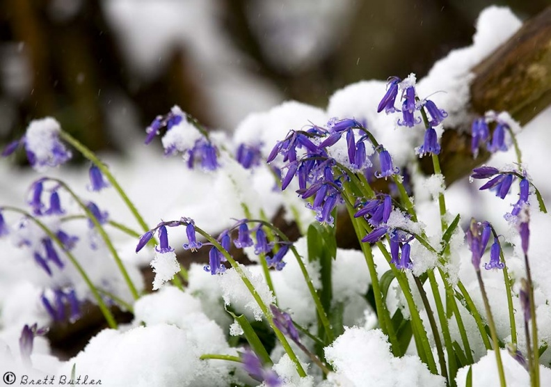 Bluebells_Snow_05-04-2008.jpg