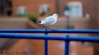 gull-eastbourne-11-11-07